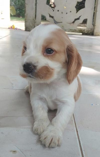 Cocker Spaniel Puppeis