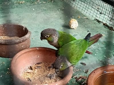 Green Cheeked Conure Pair