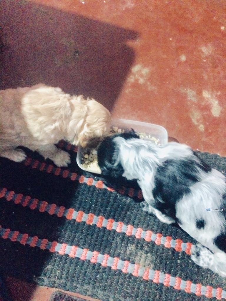 Coccus Spaniel Puppy
