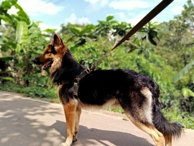 German Shepherd Dog for Crossing