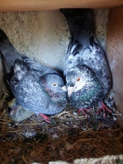 Pigeon Birds
