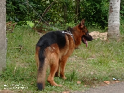 German Shepherd Male Dogs for Crossing