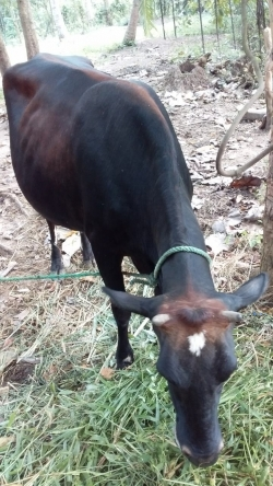 Jercy Sahiwal Persian Cow