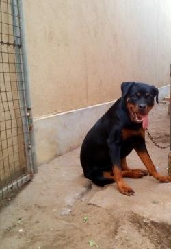 Rottweiler dog freemaile