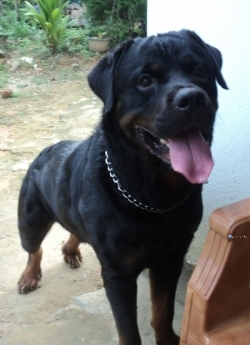 Rottweiler Male Dog for Crossing