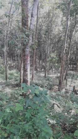 Rubber Estate Land for Sale in Ratnapura