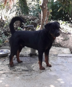 Imprted Rottweller Dog for Crossing(Stud) KASL/CKC