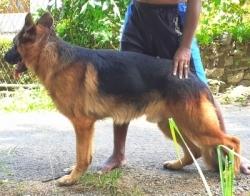 German Shepherd for Crossing