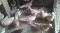 Pigeon Birds(පරවියන්)