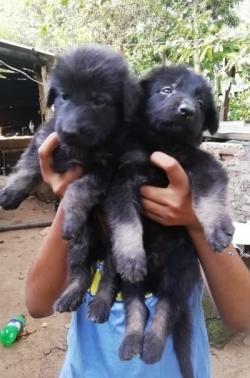 German Shepard(Long Court)Puppies