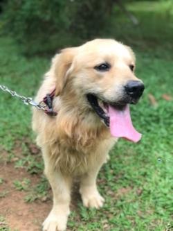 Golden Retriver Dog for Crossing