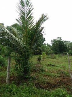 Cocount Land for Sale in Puttalam