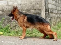 KASL & CKC Registered 3 Male Dogs for Crossing