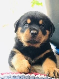 Important Serbian Bloodline Rottweiler Puppies