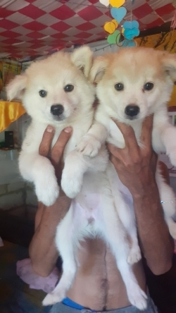 Lion Pomeranian Puppies
