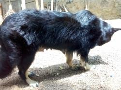 Lion Shepherd Puppies