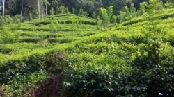 Tea Land for Sale in Thawalama