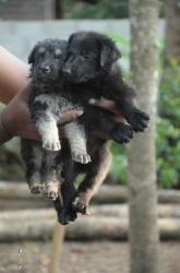 German Shepherd(Double Court) Puppies